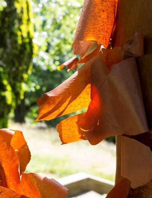 Acer griseum Rinde Stockfoto-ID: 301296320 Acer griseum chinese paperbark maple orange pealing bark