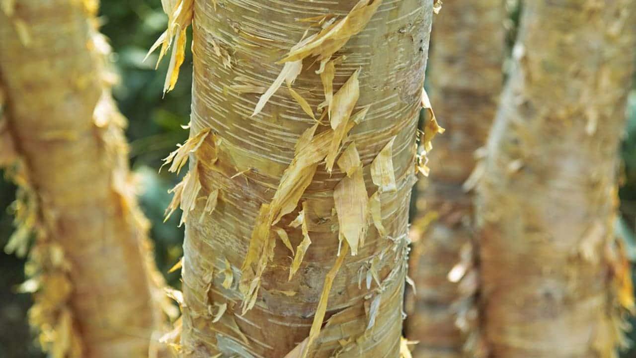 Betula ermanii Rinde Stockfoto-ID: 205094641 An Image of Betula Ermanii