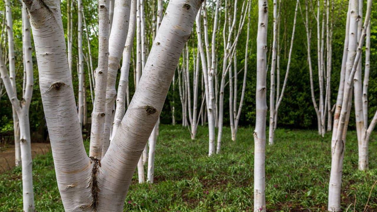 Birkenwald - Rinde Stockfoto-ID: 639540526 Silver birch trees (betula pendula)