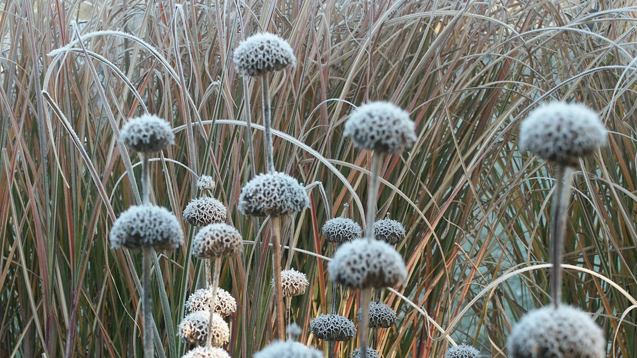 Braundkraut Phlomis russelinana, Raureif im Garten Petra Pelz in Biederitz