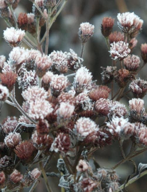 Vernonia crinita - Vernonie mit Raureif im Garten Petra Pelz in Biederitz
