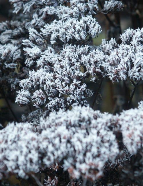 Fette Henne - Sedum thelephium mit Raureif im Garten Petra Pelz in Biederitz