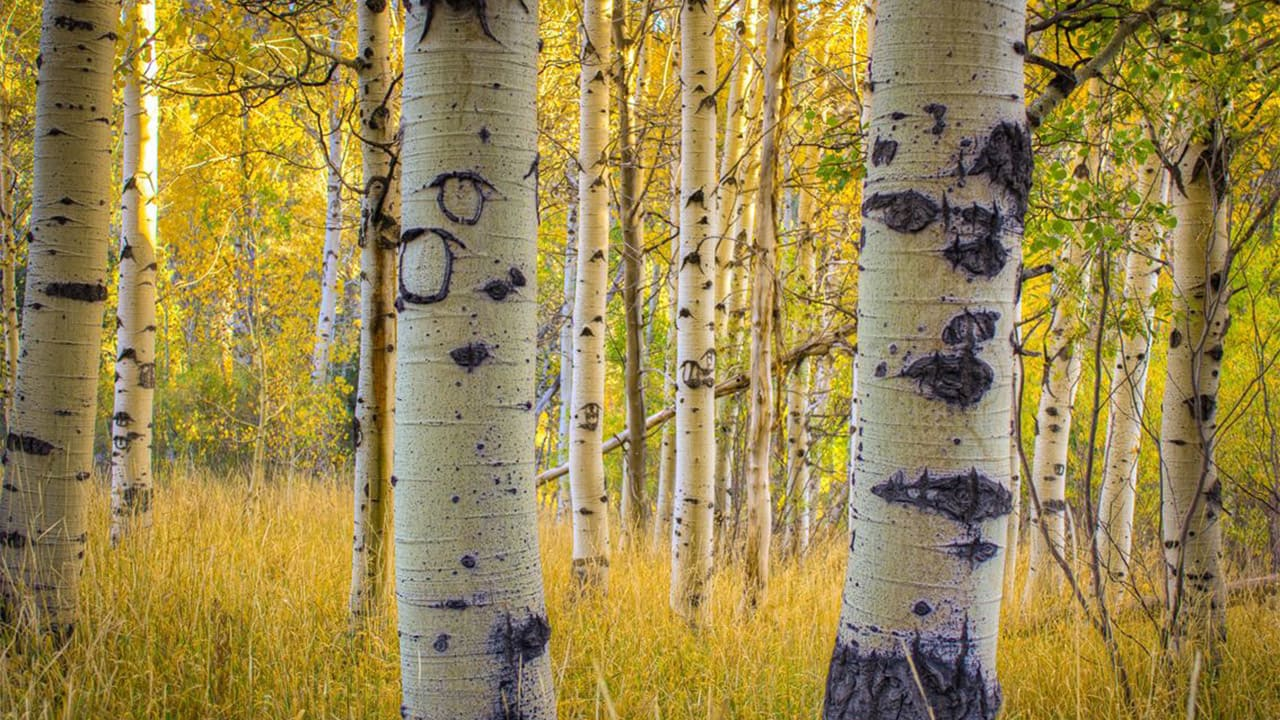 Populus tremula Rinde Stockfoto-ID: 675011404 Quaking Aspen in Lake Tahoe