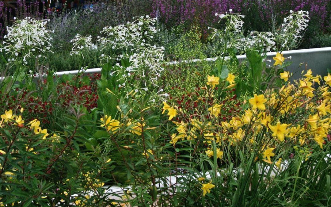 Ziertabak – Gartenschönheit mit Migrationshintergrund