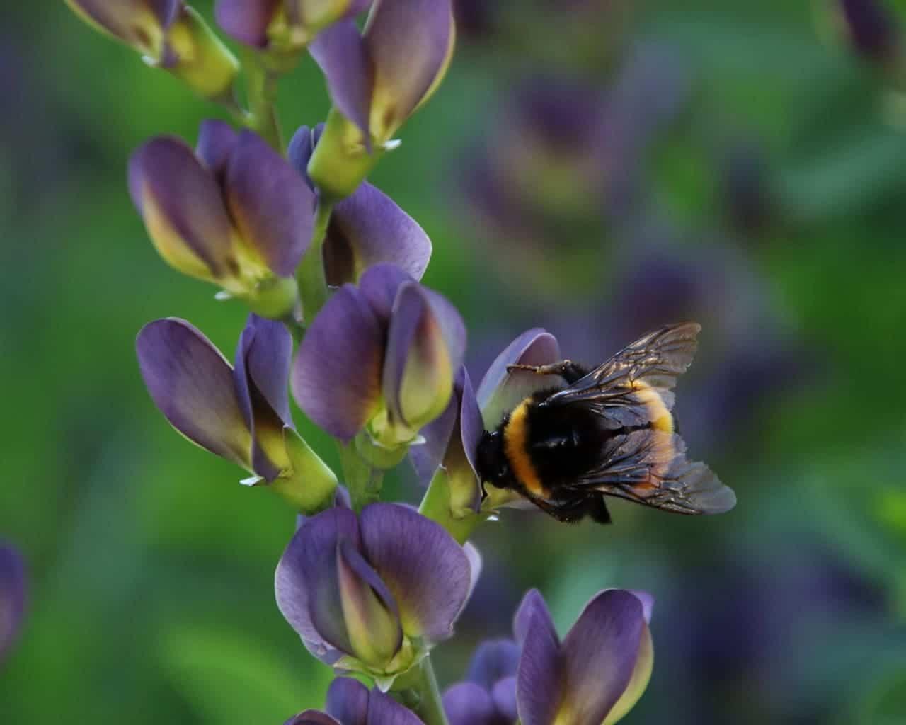 Indigolupine (Baptisia Hybr. Purple Smoke) mit Biene