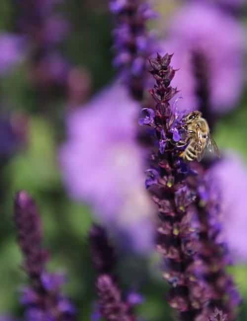 Steppenkerzensalbei mit Biene