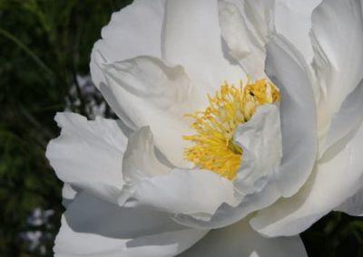 Pfingsrose - Paeonia lactiflora