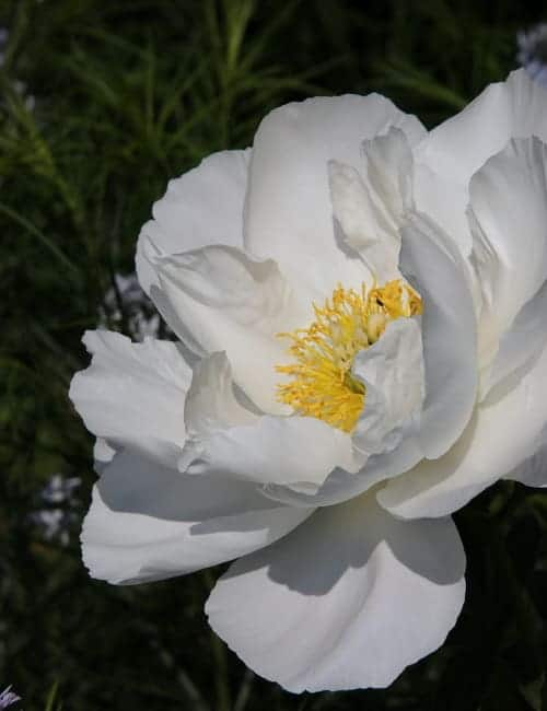 Pfingsrose (Paeonia Hybr.)