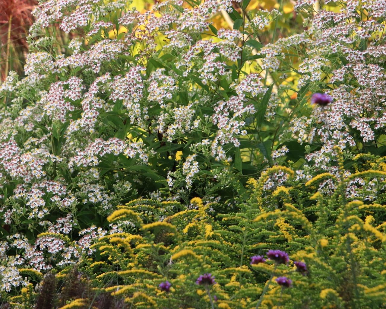 Kleinblütige Herbst (Aster glehnii Agleni) und Goldrute (Solidago rugosa Fireworks)