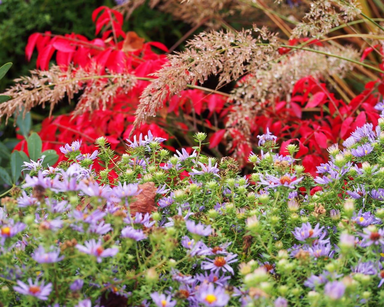 Herbst mit der Aromatischen Aster (Aster oblongifolius)
