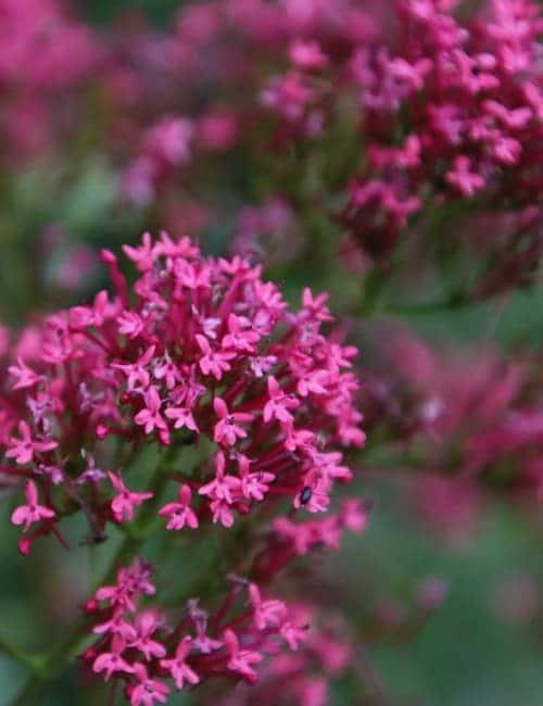 Spornblume (Centranthus ruber var. coccineus)