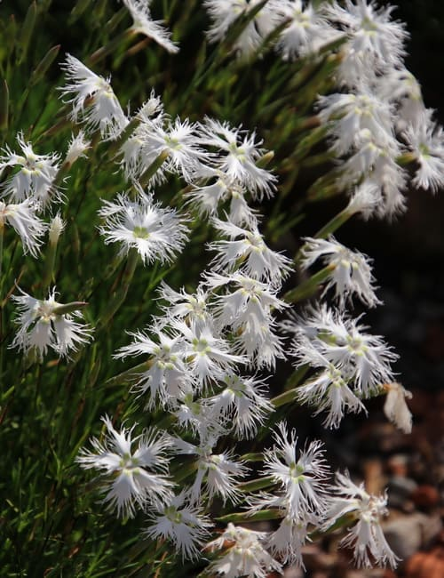 Die Sand-Nelke (Dianthus arenarius) Pflanze für trockene Böden