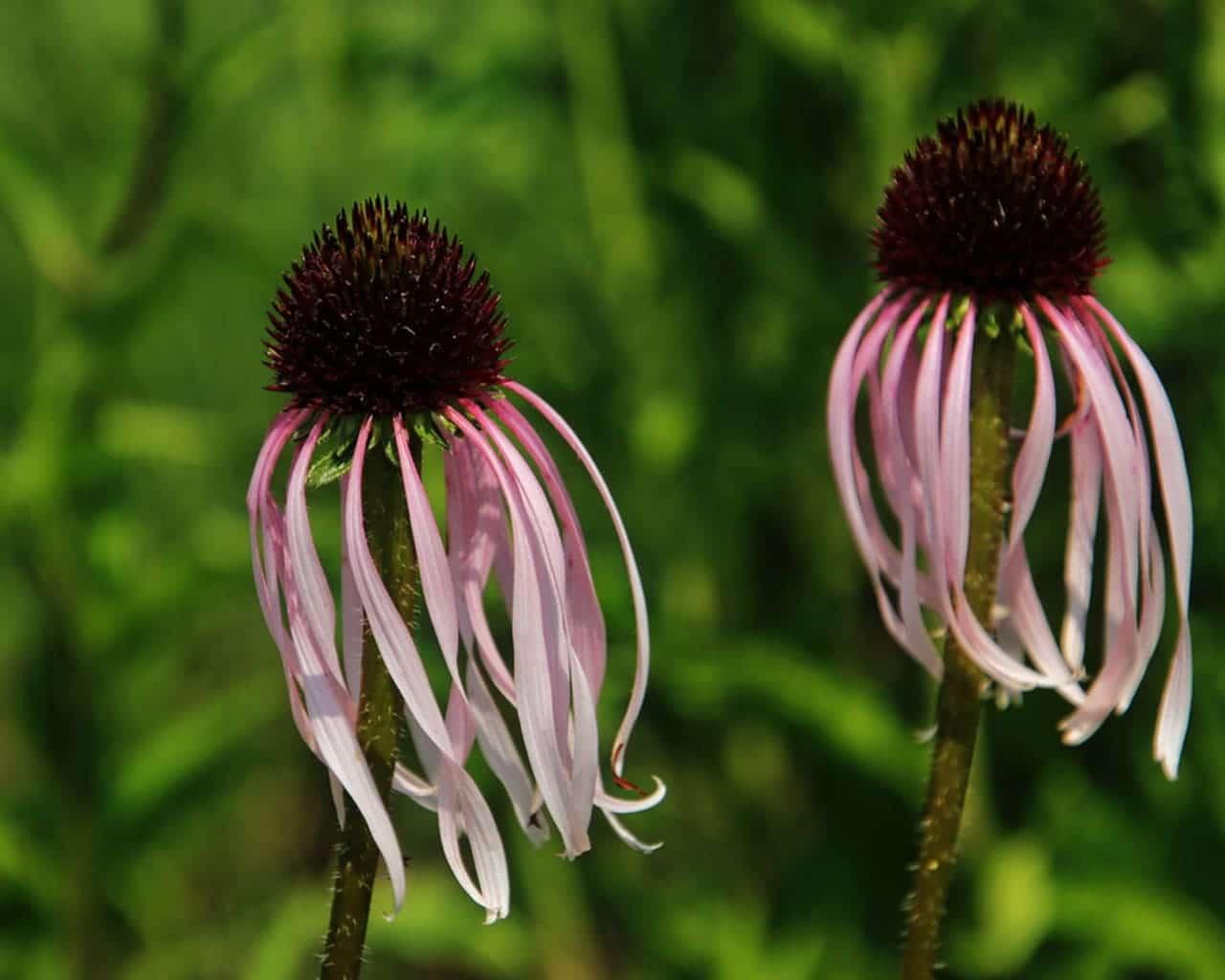 Bleicher Scheinsonnenhut (Echinacea pallida)