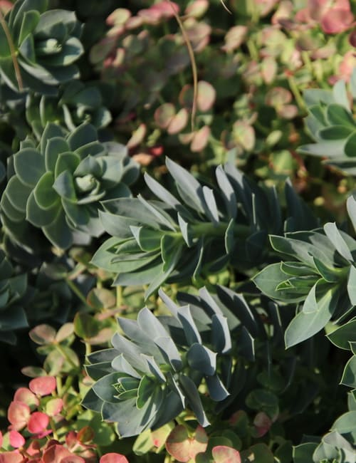 Die Walzen-Wolfsmilch (Euphorbia myrsinites) Pflanze für trockene Standorte, trockenheitsliebend, Laubschmuck