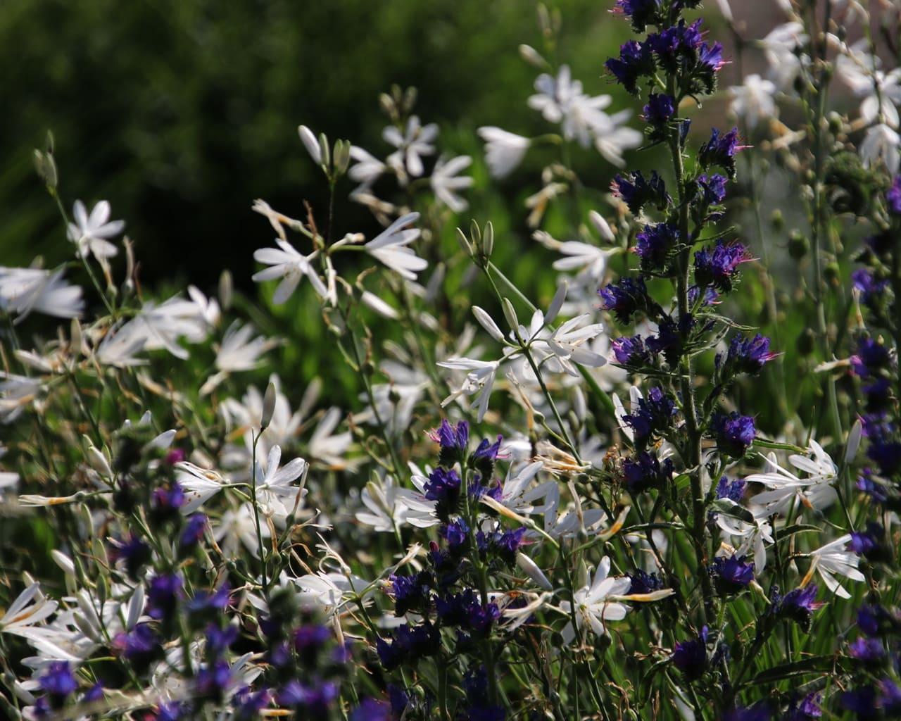 Die Kombination zwischen dem Natterkopf (Echium vulgare) und der Ästige Graslilie (Anthericum ramosum)