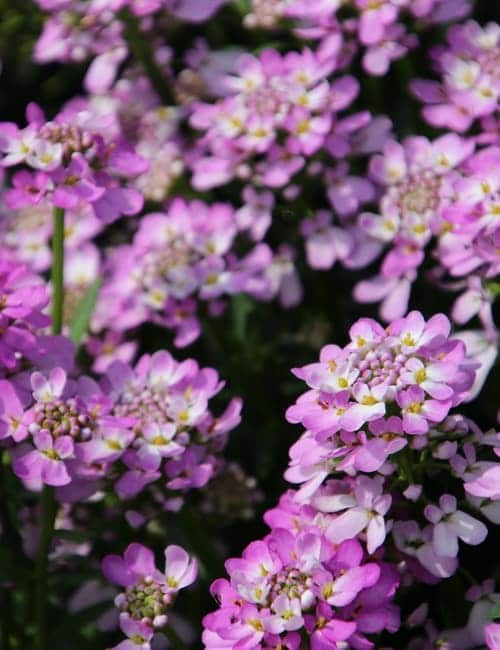 Rosa Schleifenblume (Iberis sempervirens Pink Ice)
