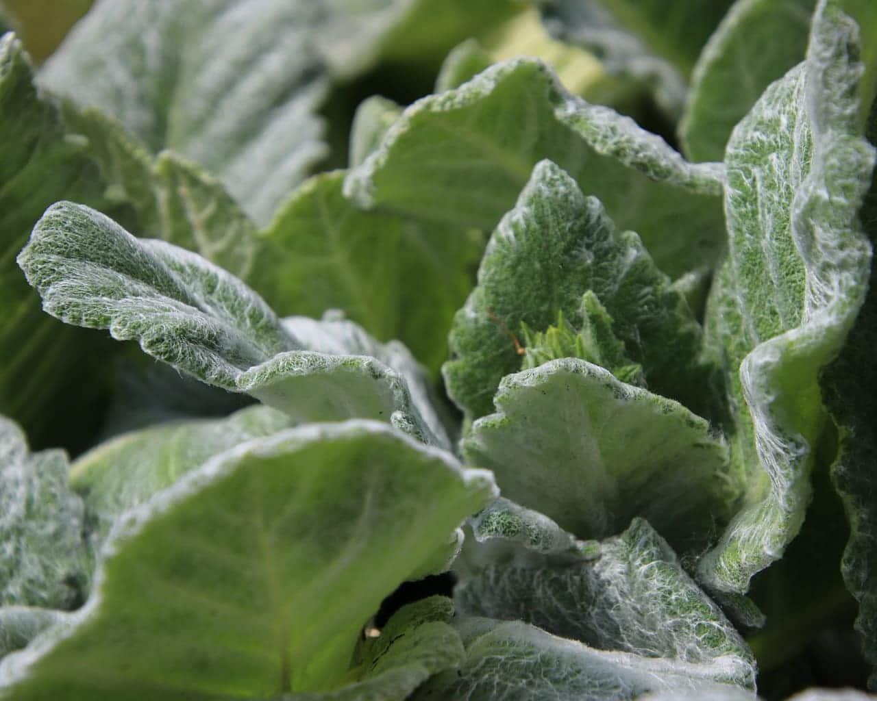 Der Silberblatt Salbei (Salvia argentea) ist trockenheitsliebend und für trockene Standorte eine Laubschmuckpflanze