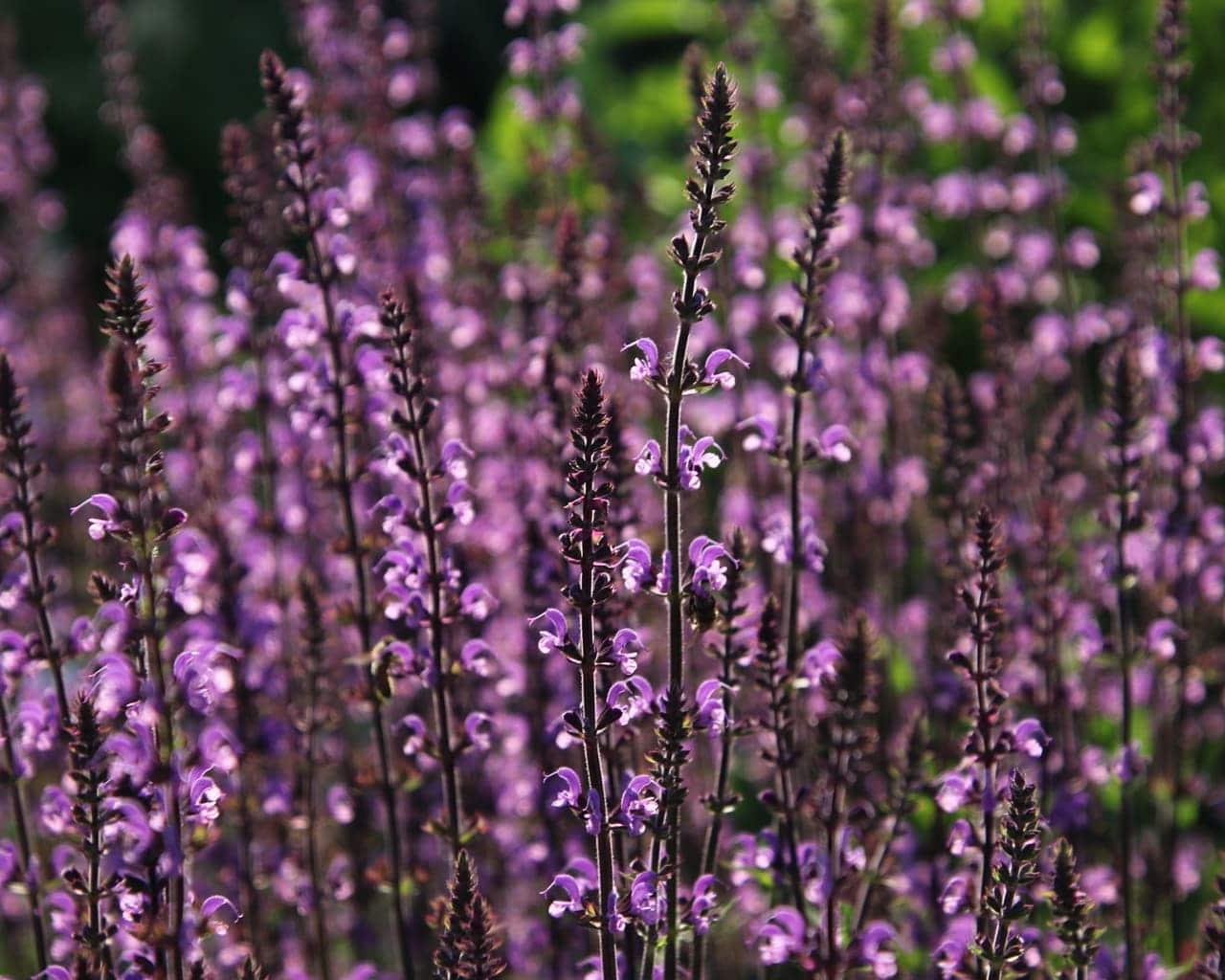 Die Steppen Salbei (Salvia nemerosa Serenade)