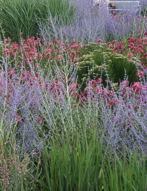 Blauraute (Perovskia abrotanoides) Bergminze (Pycnanthemum) und Purpursonnenhut (Echinacea purpurea)