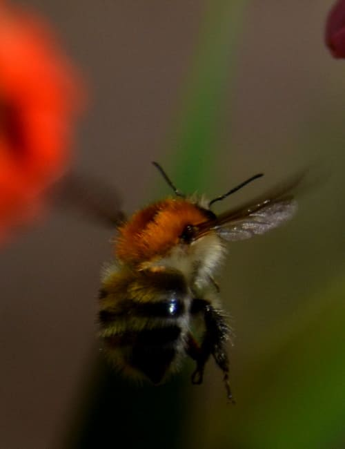 Biene im Flug, Foto Peter Straile
