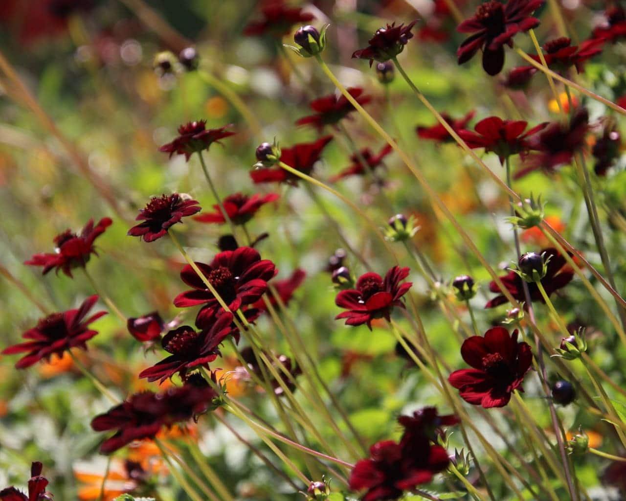 Sommerblumen Beet, Schokoladenblume, Cosmos atrosanguinea , Schokolade Duft Landesgartenschau Würzburg 2018
