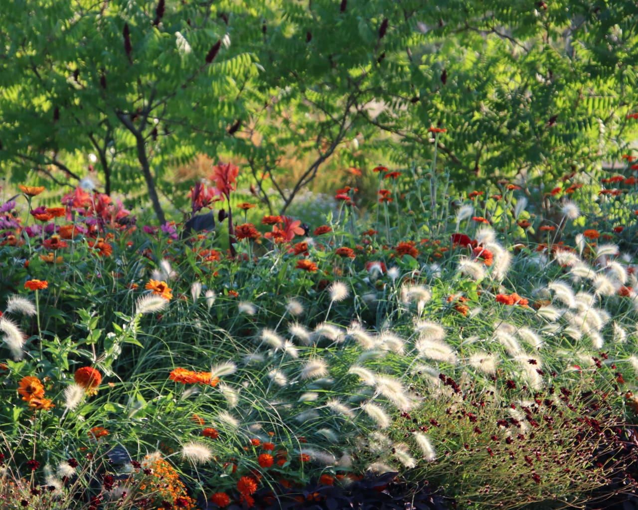 Sommerblumen Beet, Lampenputzergras, Pennisetum villosum, Zinnia, Landesgartenschau Würzburg 2018