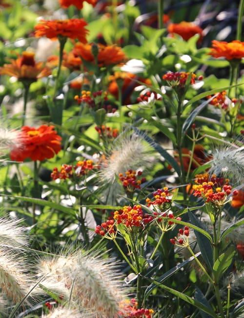 Sommerblumen Beet, Zinnien, Zinnia, orange, Asclepias, Seidenpflanze, Pennisetum villosum, Lampenputzergras, Landesgartenschau Würzburg 2018