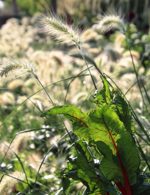 Sommerblumen Beet, Mangold , Beta vulgaris Rhubard Chard, , Landesgartenschau Würzburg 2018