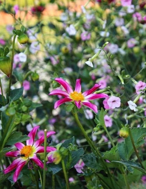 Sommerblumen Beet, Nicotiana mutabilis, Tabak, Dahlie Honka, Landesgartenschau Würzburg 2018