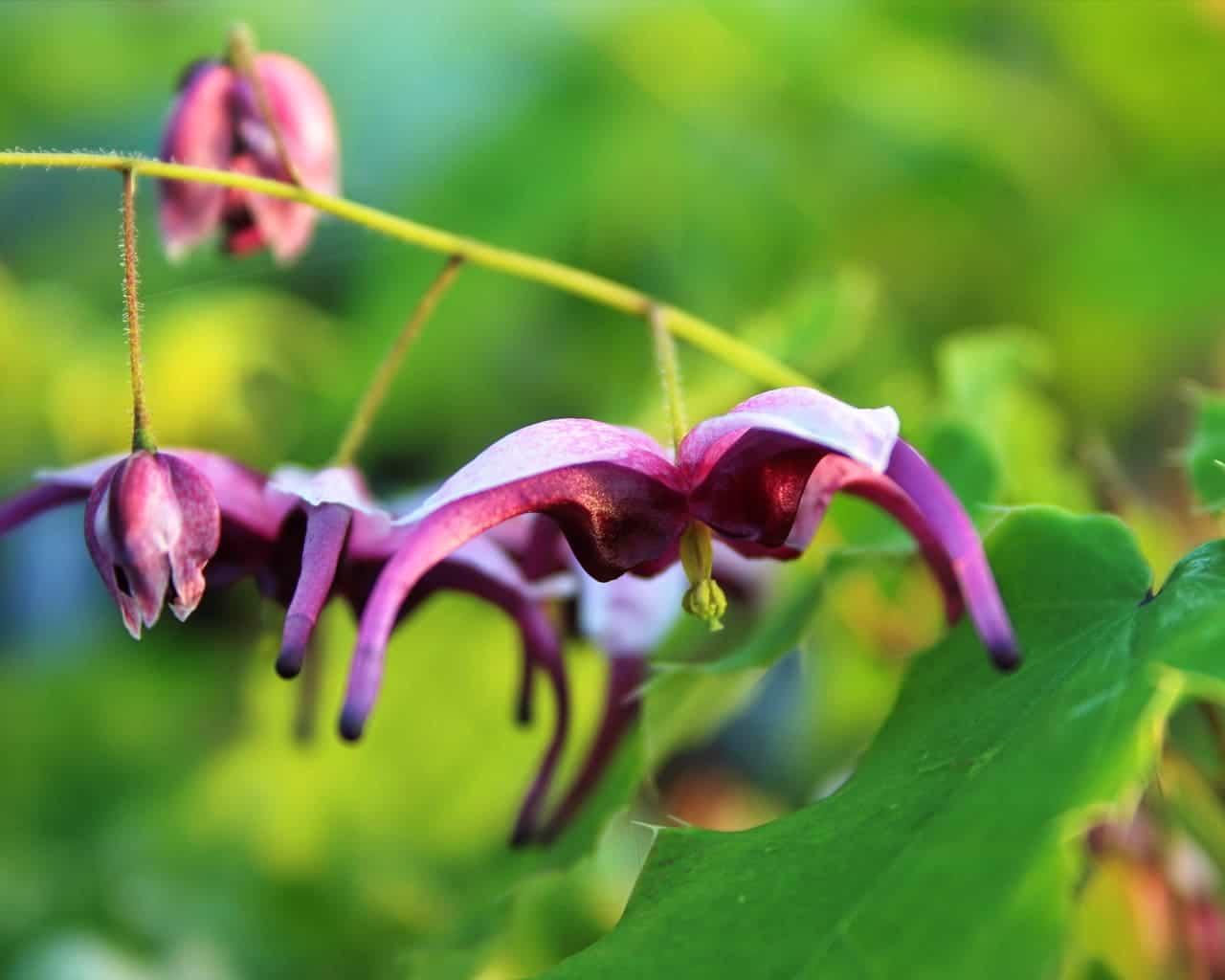 Epimedium acuminatum 'Night Mistress', Elfenblume, Laubschmuck, violette Blüte