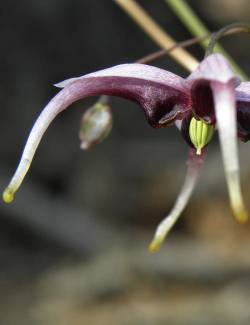 Epimedium acuminatum `DJHC 734` Elfenblume Schattenpflanze