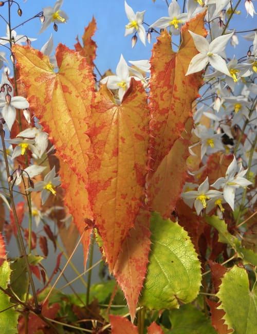 Epimedium stellulatum Elfenblume Schattenpflanze