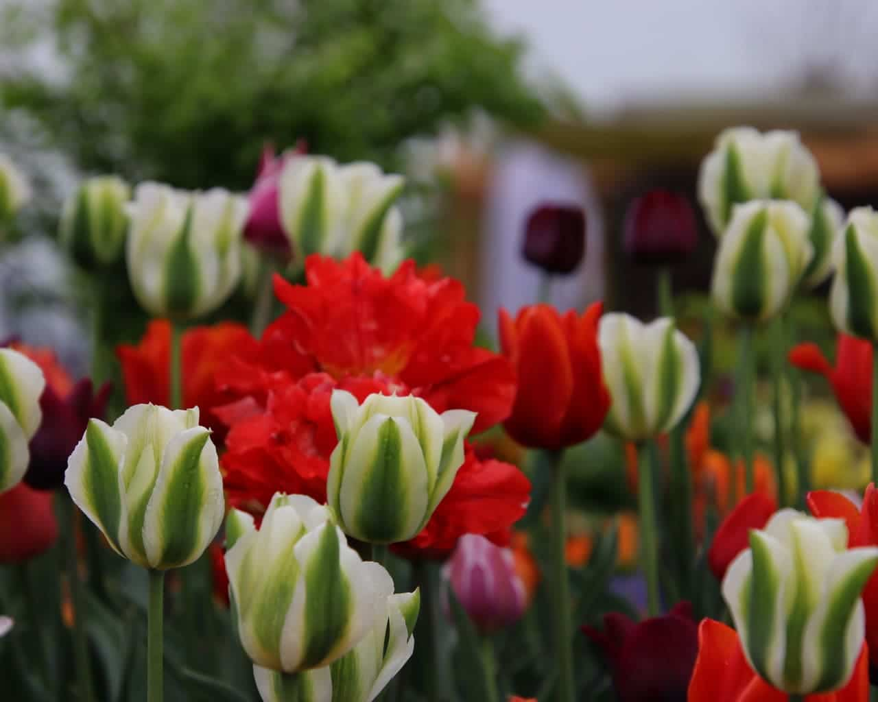 Tulpenpflanzung mit Viridiflora Tulpen auf der Landesgartenschau Würzburg 2018, Planung Petra Pelz