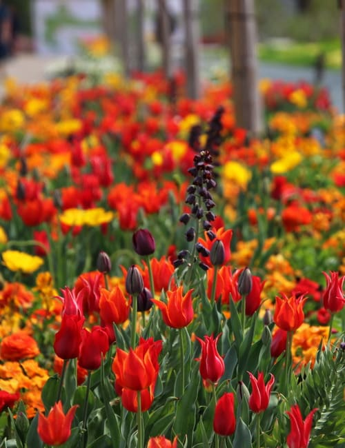 Tulpenpflanzung mit persischer Kaiserkrone auf der Landesgartenschau Würzburg 2018, Planung Petra Pelz