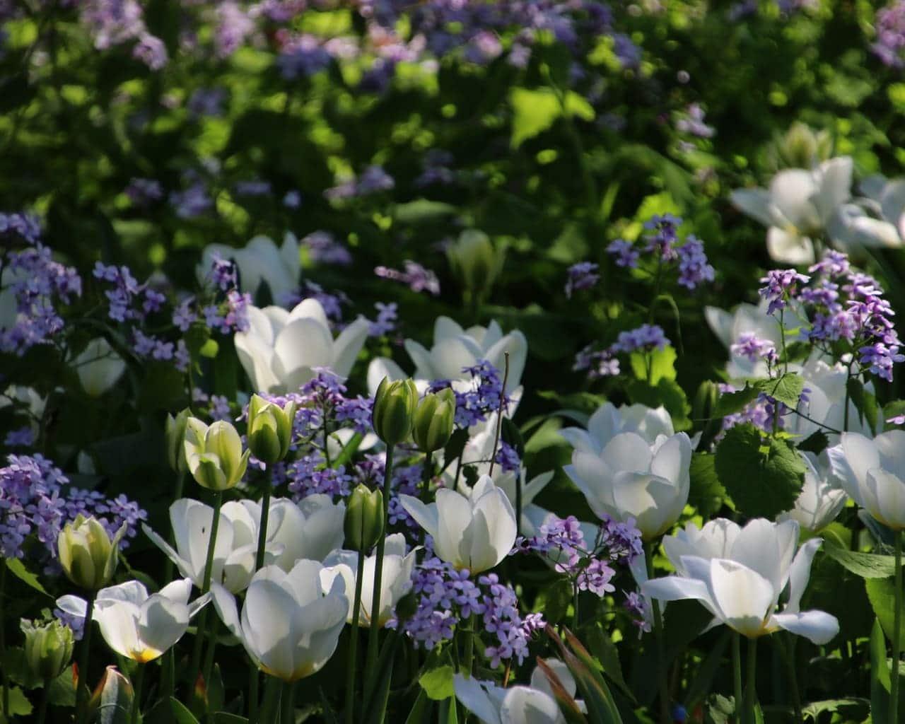 Weiße einfachblühen Tulpen und Viridiflora Tulpen mit dem staudigen Silberblatt Lunaria rediviva in einem Kundengarten in Möser, Planung Petra Pelz