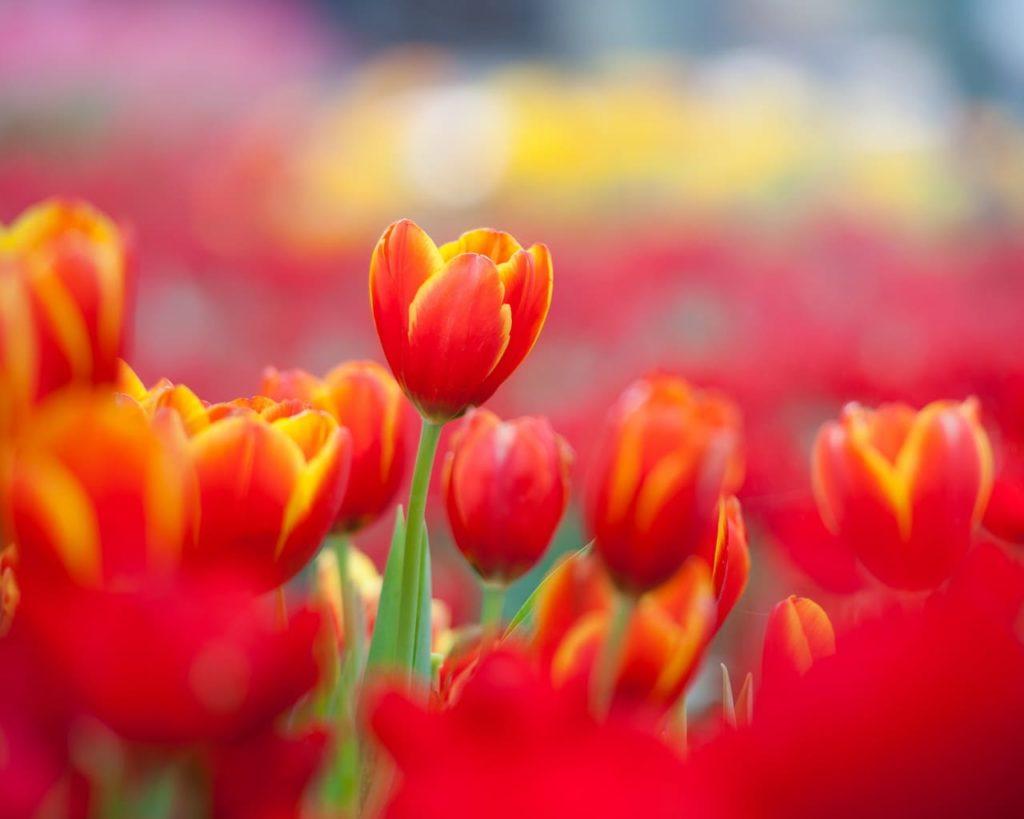 Tulpenfieber – Pflanz dir den Frühling