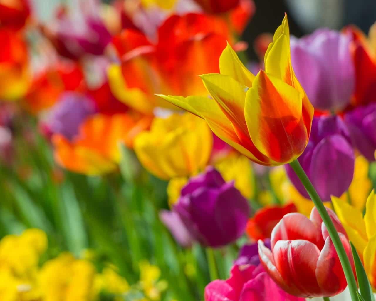 Farbenfrohe Tulpenmischung mit verschiedenen Tulpen im Beet