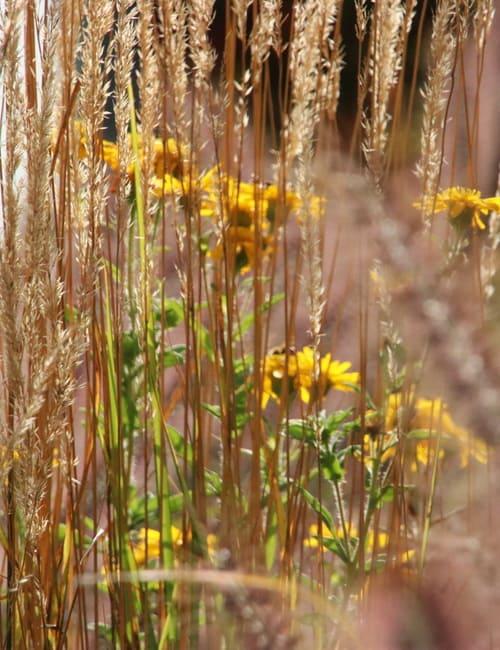 Calamagrostis acutiflora Karl Foerster Reitgras und Crysopsis speciosa , Gras für trockenen Standort