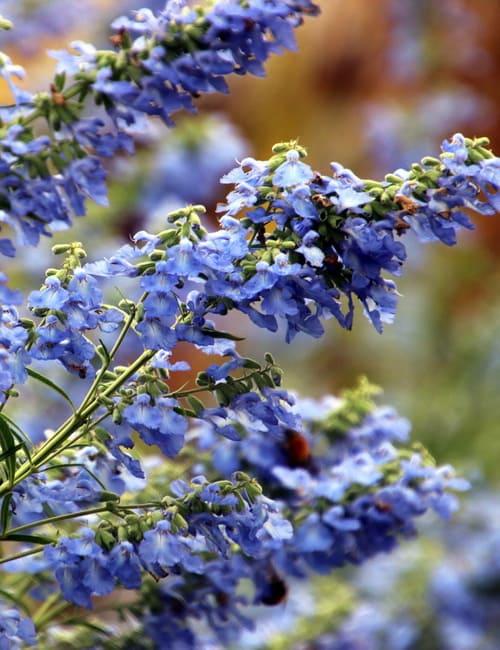 Herbstsalbei, Salvia azurea Grandiflora