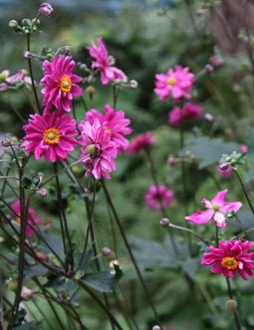 Anemone Japonica Prinz Heinrich - Herbstanemone