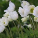 Wald-Windröschen - Anemone sylvestris
