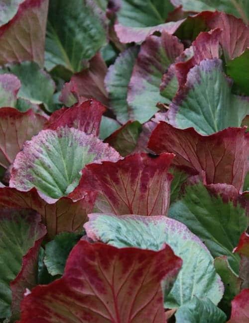 Bergenien , Bergenia cordifolia färben sich Rot