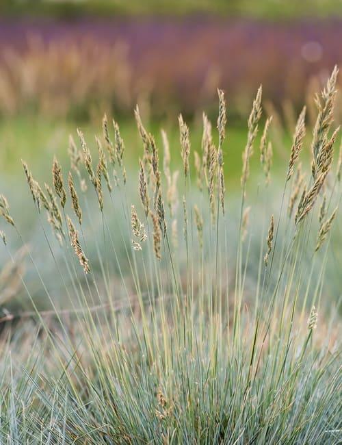 Festuca cineria Schafschwingel für trockenen Standort