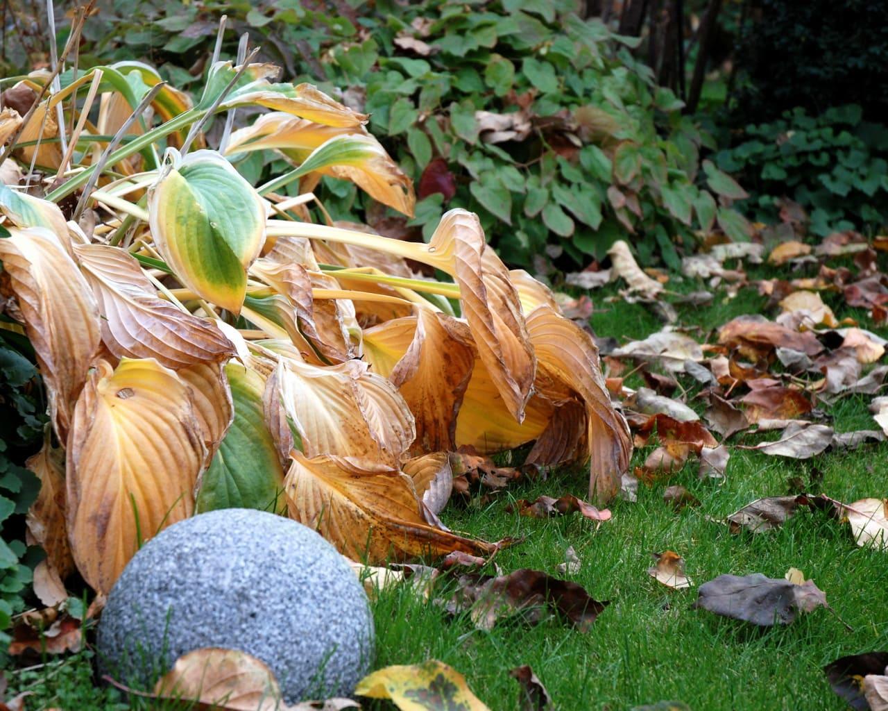 Funkien, Herbstlaub, Foto Xenia Rabe Lehmann