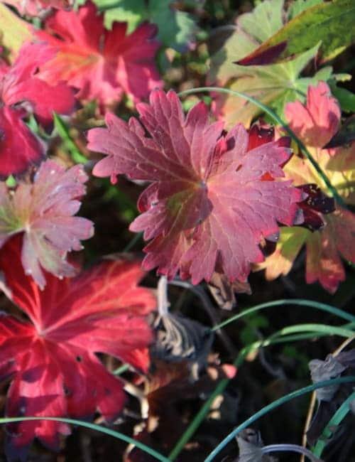 Storchschnabel, hier Geranium wlassovianum ist ein tolle Herbstfärber