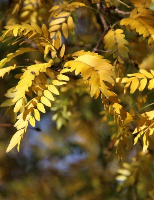 Der Lederhülsenbaum - Gleditsia triacanthos färbt sich quittegelb im Herbst