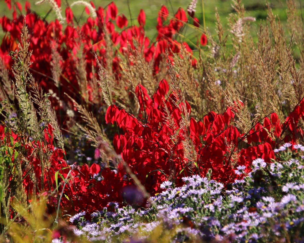 Herbstfärbung mit Pfaffenhütchen - Euonymus alatus Compactus, Garten Petra Pelz in Sehnde