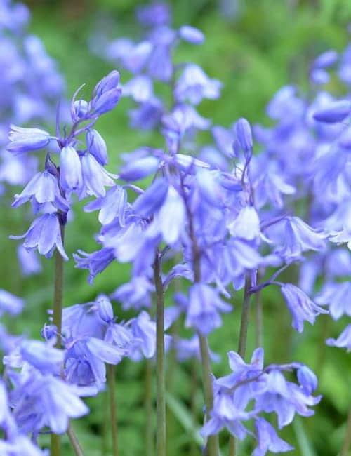 Hyacinthoides Blue Bells zum Verwildern