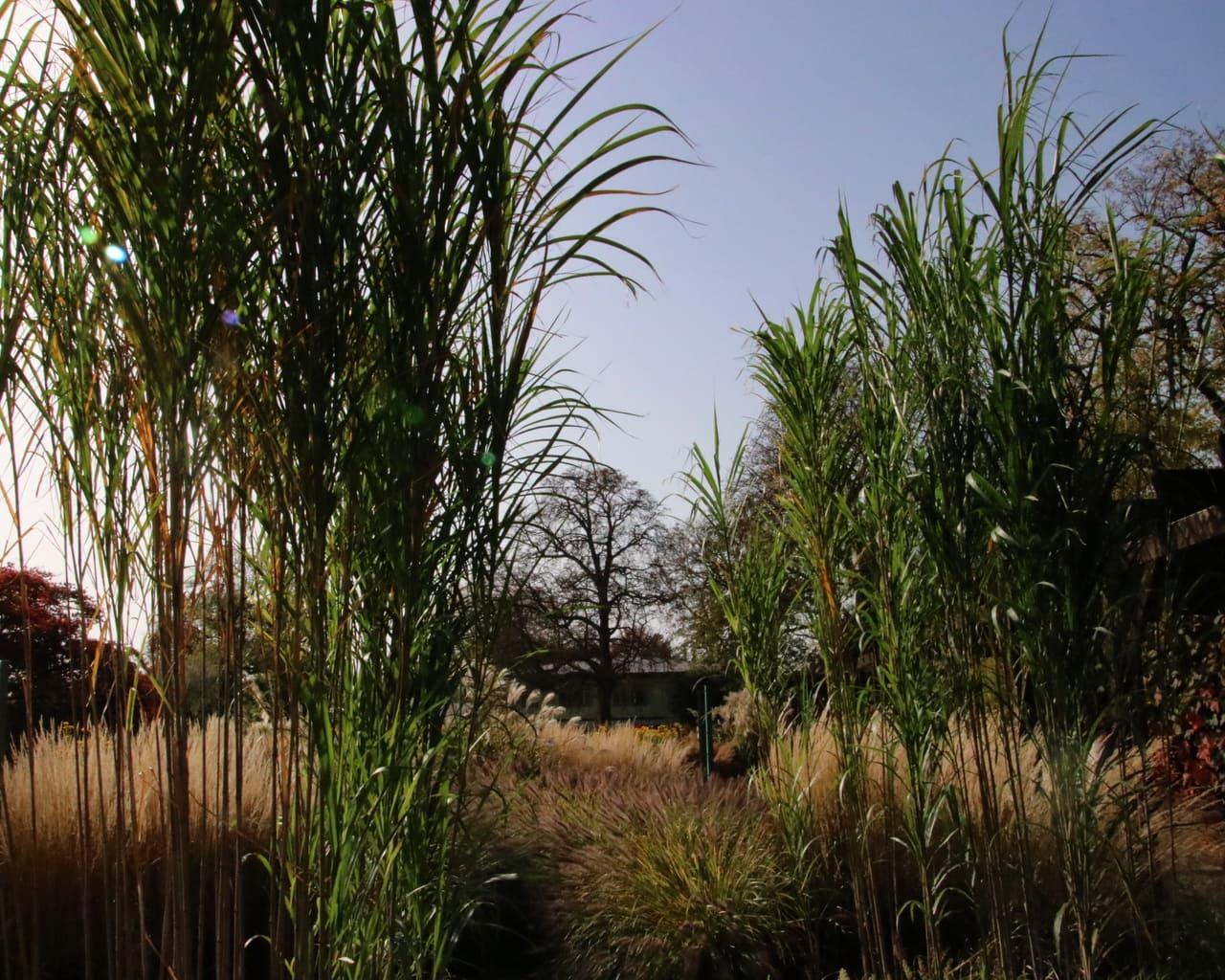 Gräsergarten im ega Park, Planung Petra Pelz 2014, das höchste Gras im Garten aber es wuchert... Chinesisches Riesenschilf Triarrhena lutarioriparia