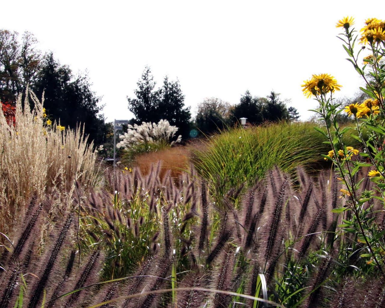 Gräsergarten im ega Park, Planung Petra Pelz 2014, Pennisetum viridescens, Calamagrostis acutiflora, Miscanthus sinensis, Panicum virgatum und Chrysopsis speciosa